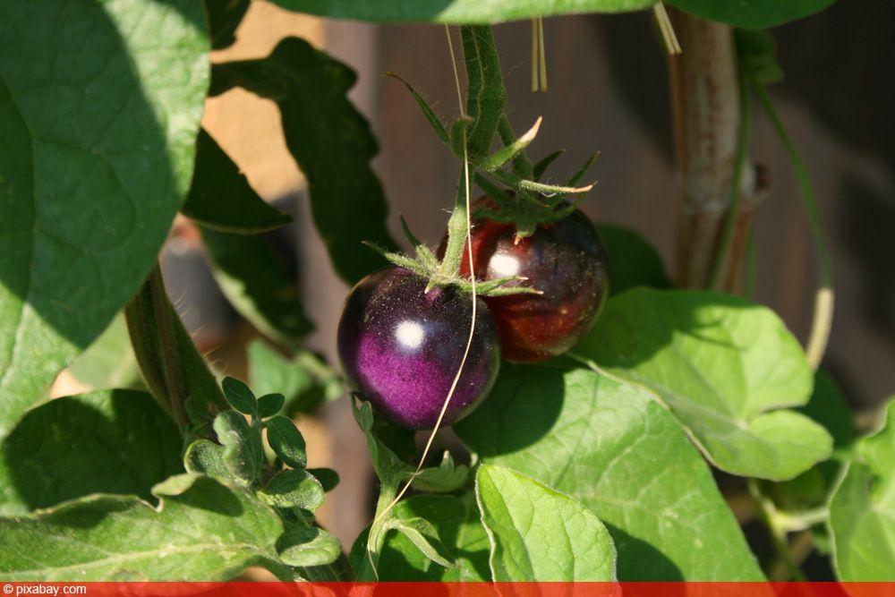 Lila Tomaten 7 Sorten Wann Sind Violette Tomaten Reif Tomaten De In 2020 Tomaten Tomaten Sorten Lila