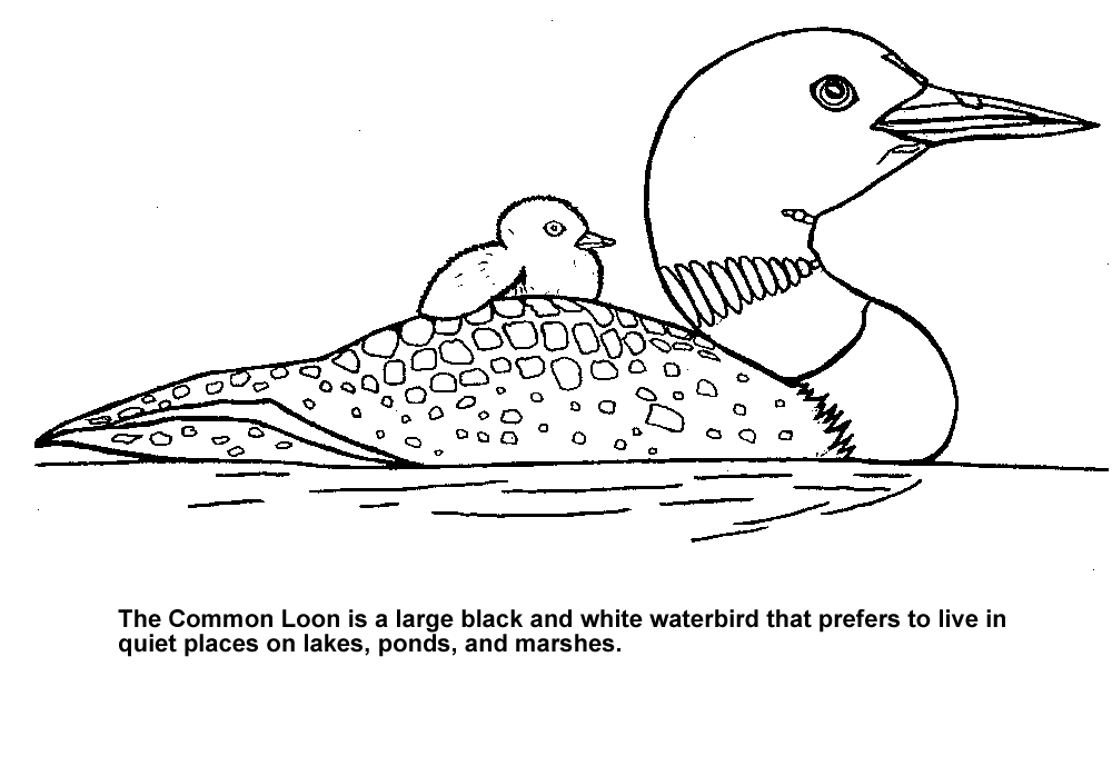 Maine Loon coloring page | Wisconsin Activity Binder | Pinterest