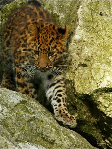 Goldfishdreams Photography, Leopard, Amur Leopard, Endangered, Big Cat, Cat, Whiskers, Cute, Wild Animal, Cub