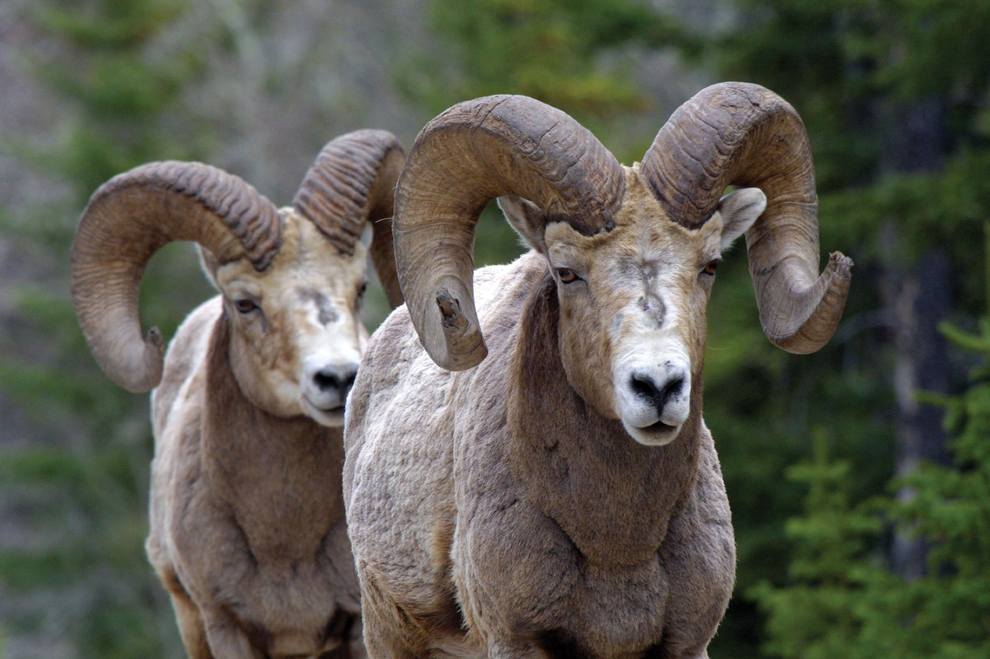 A couple of big horned Bighorn Sheep! Big horn sheep