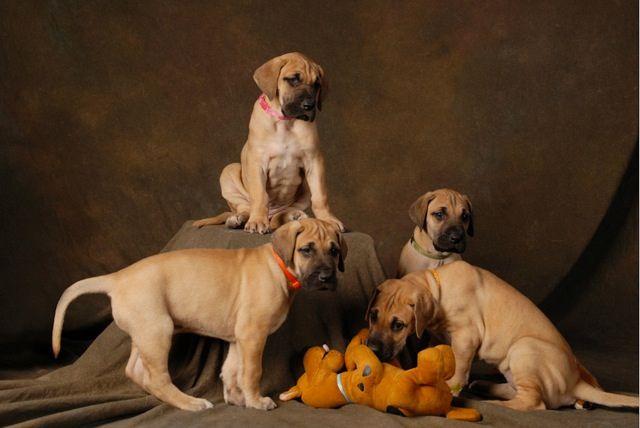 Bruce Defries Memories Faded Doberman Puppies