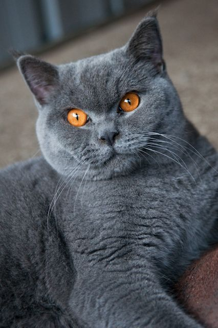 Temperament Of Cute British Shorthair Cat The Animals Planet