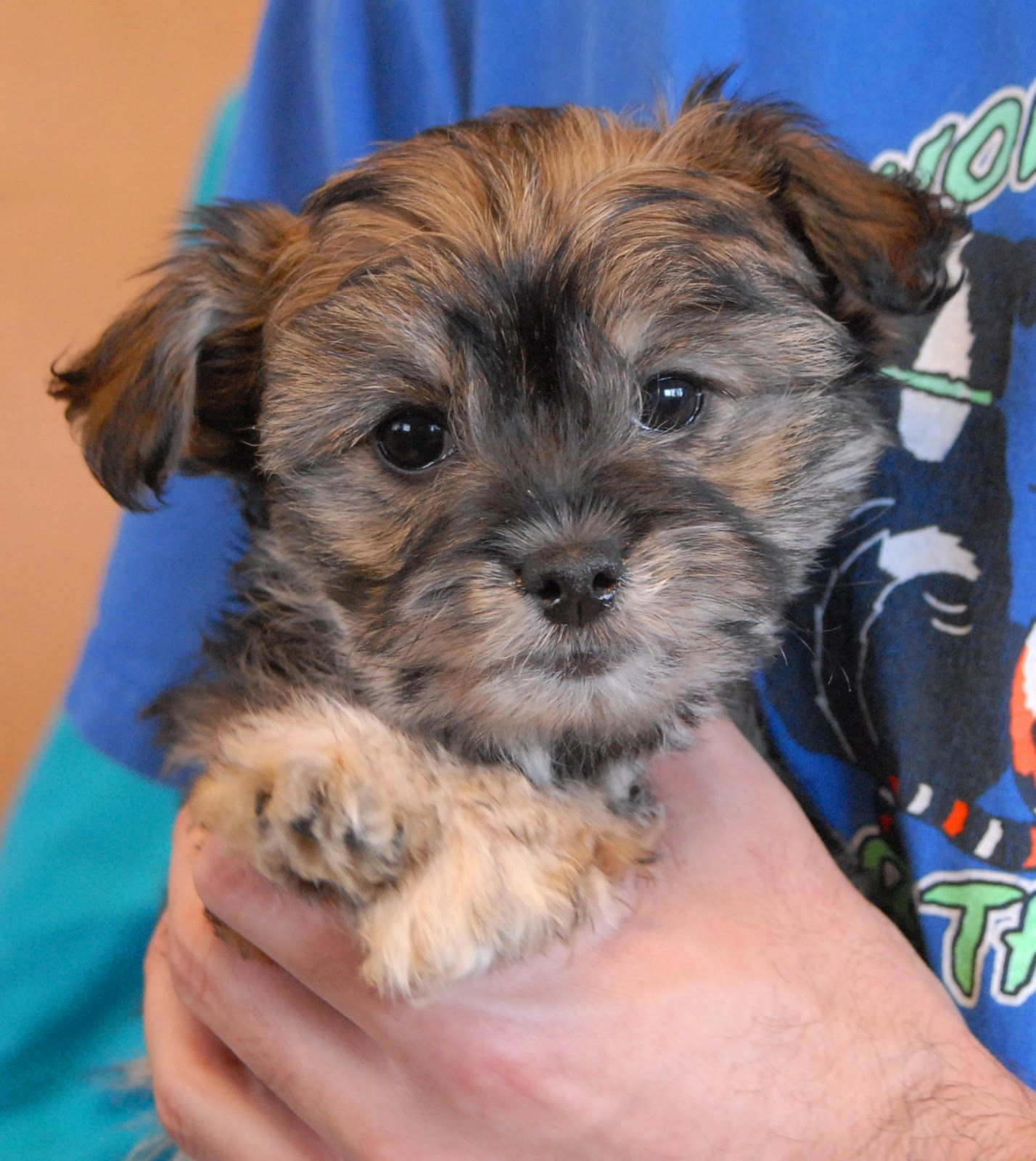 3 Adorable Poodle Mix Puppies Debuting For Adoption With Images Poodle Mix Puppies Poodle Mix Poodle