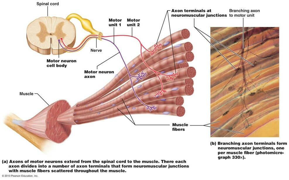 Pin By Jessica Joyce On Systems Musculoskeletal Pinterest Medicine