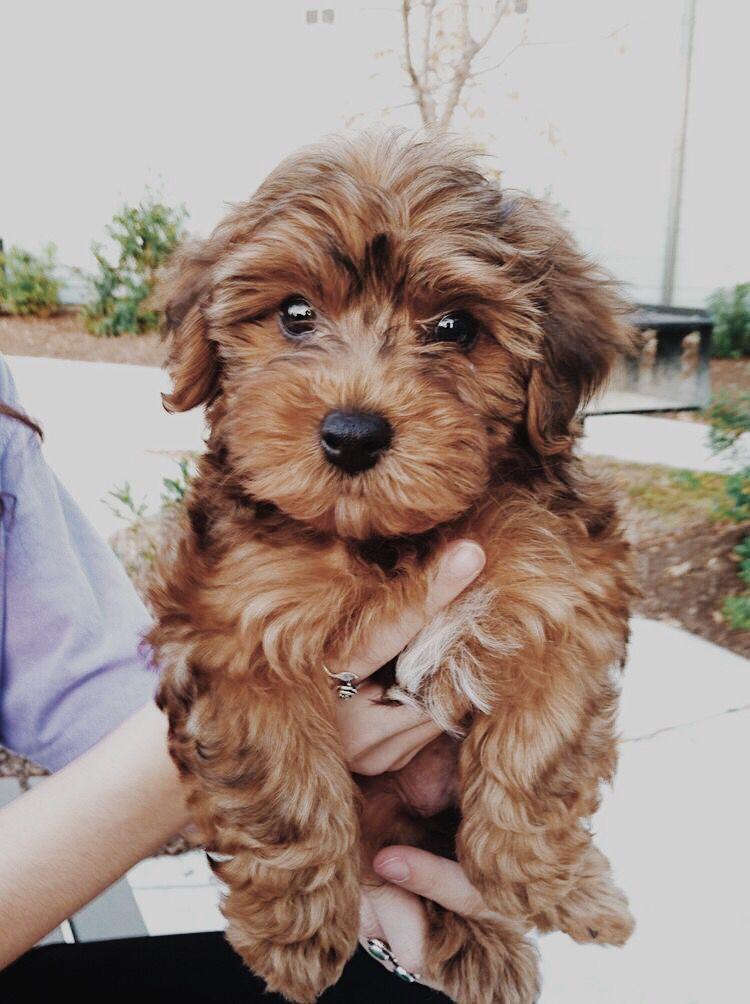 Yorkiepoo Yorkie Poodle Yorkshire Terrier Yorkshire Terrier