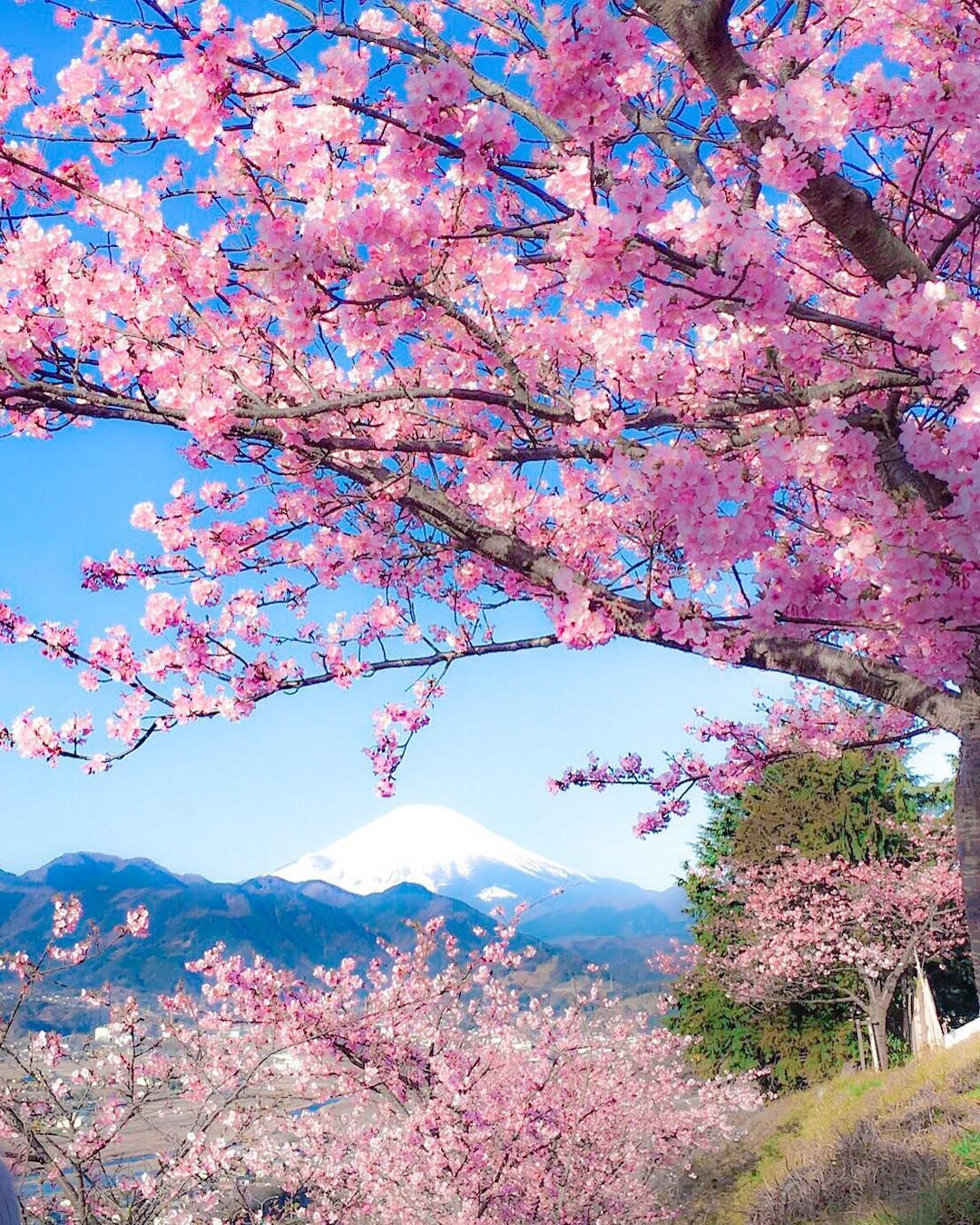 Japan S Early Blossoming Kawazu Cherry Blossoms Are In Gorgeous Full Bloom Right Now Grape Wallpaper Nature Flowers Beautiful Nature Beautiful Landscapes