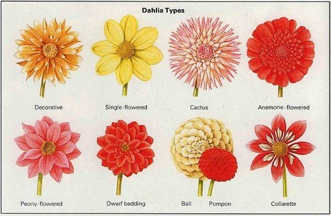 Growing Dahlias Guide To Dahlia Flowers Growing Dahlias Dahlia Flower Dahlia