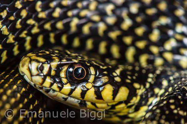 Whip snake (Hierophis viridiflavus) portrait