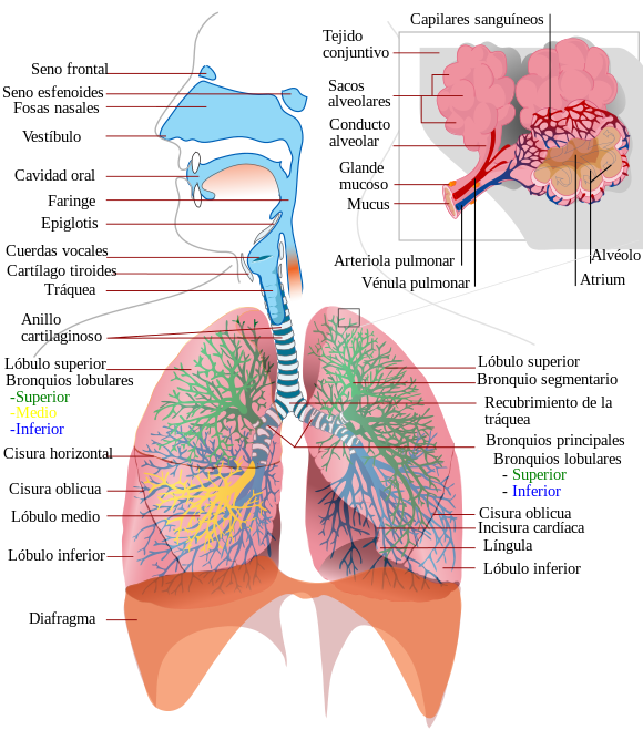 Respiratory system (parts). | This and That | Pinterest ...