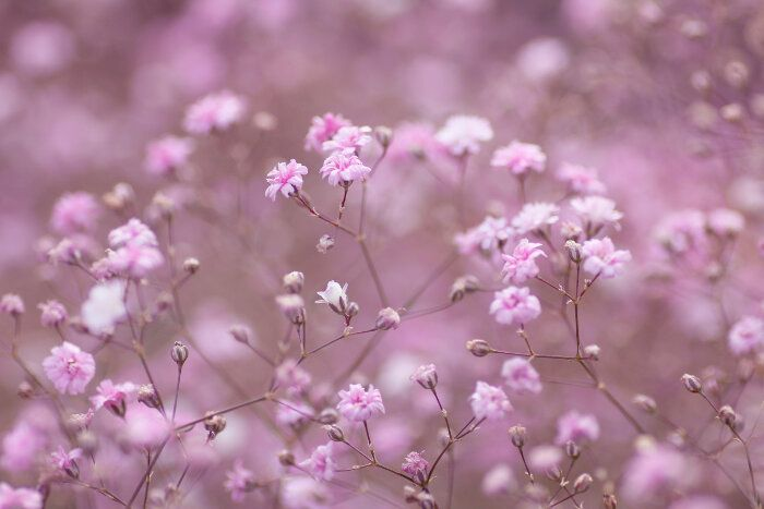Baby Breath Flower Meaning Flower Meanings Babys Breath Flowers Babys Breath