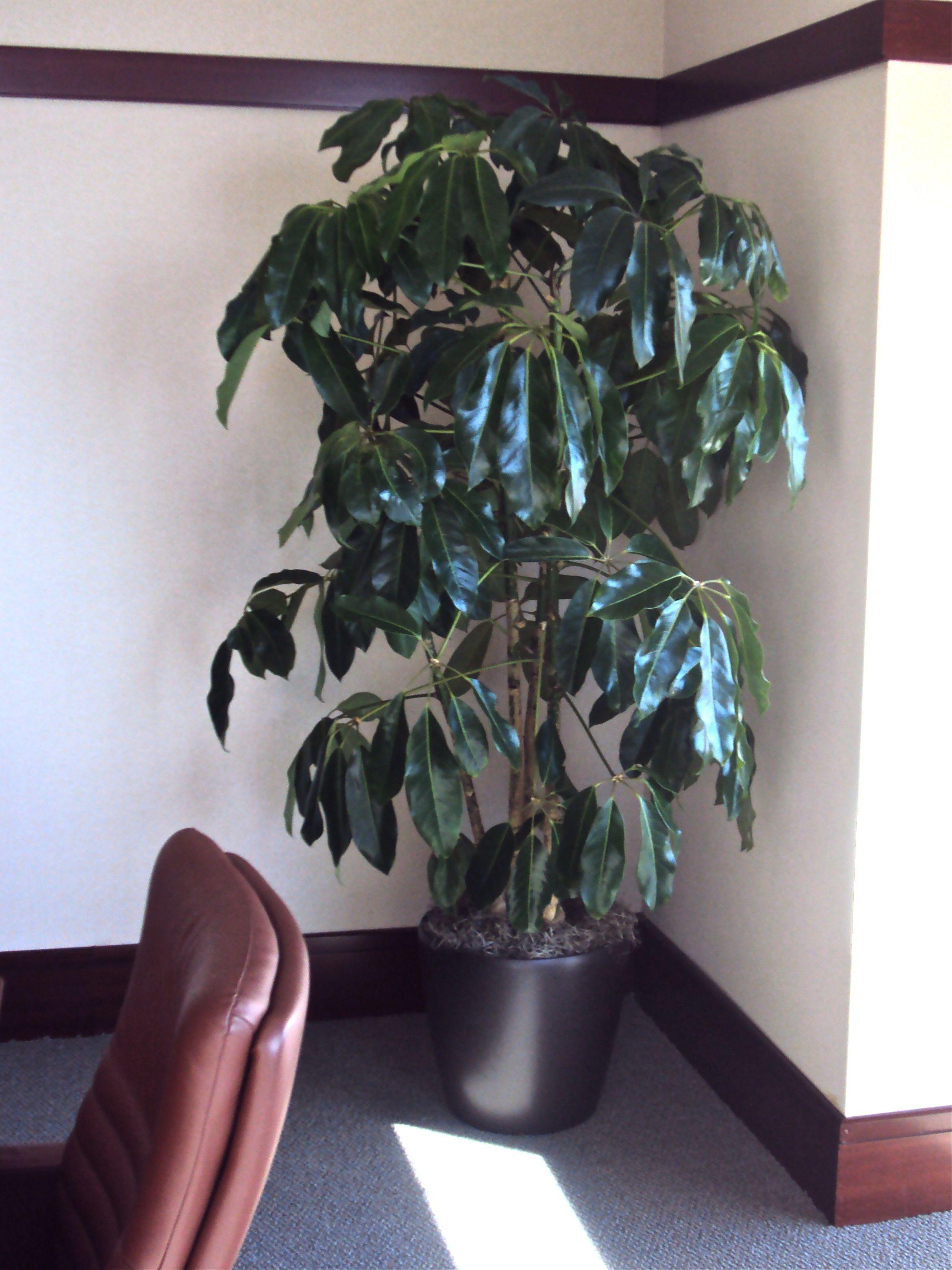 Houston S Online Indoor Plant Pot Schefflera Amate Or Umbrella Tree