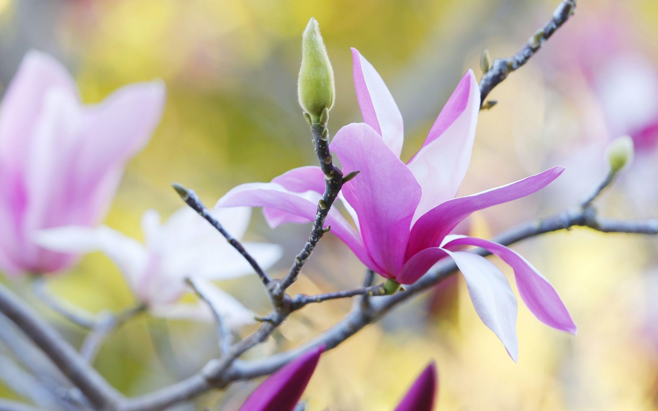 magnolia flower - Pesquisa Google