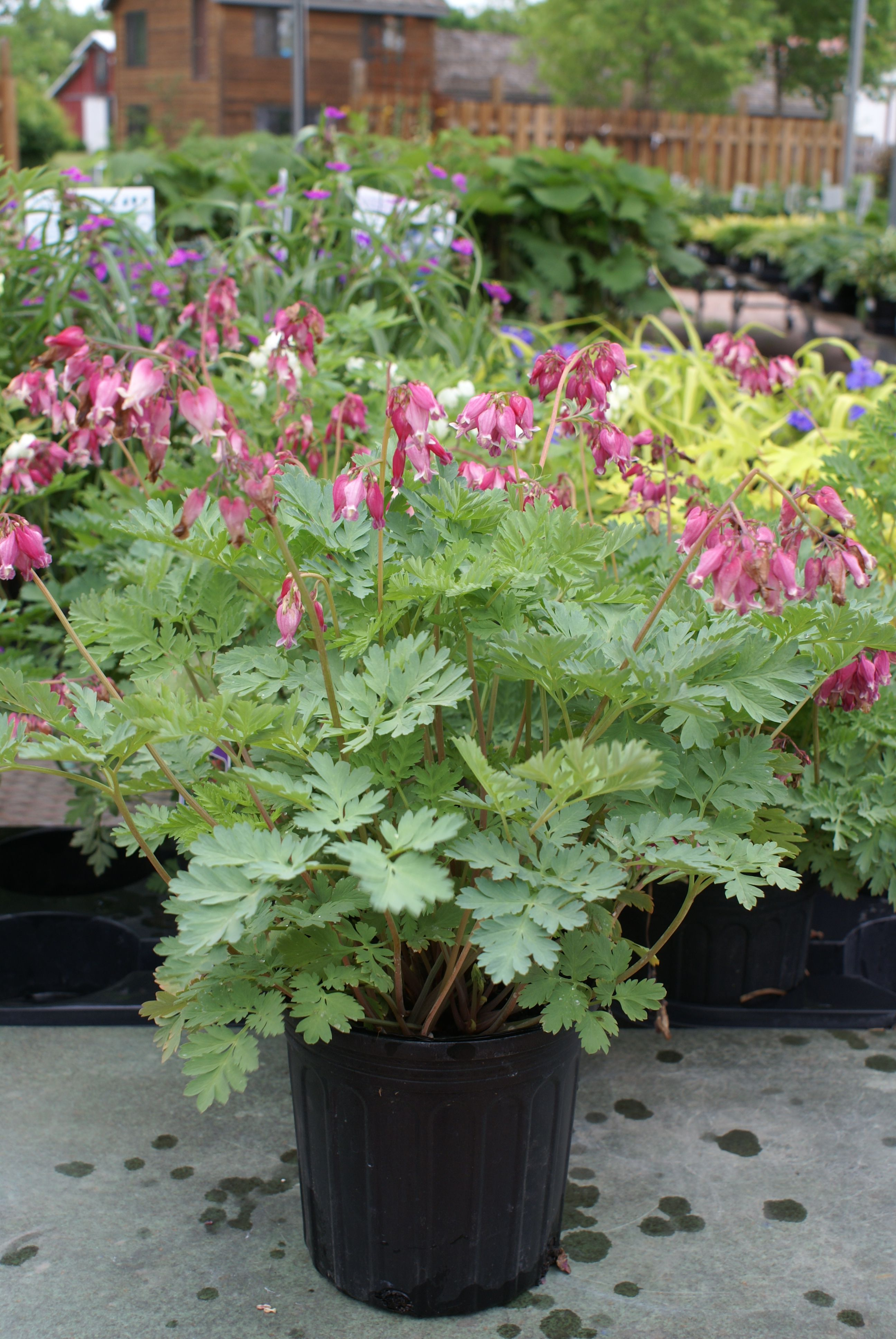 Bleeding Heart Luxuriant Is A Fast Growing Perennial With Pink