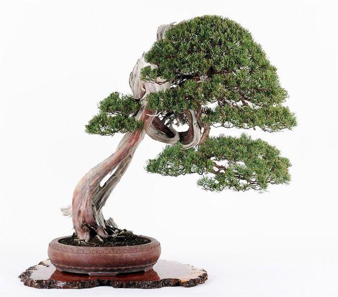 Winner Bonsai Bonsai Tree Juniper Bonsai