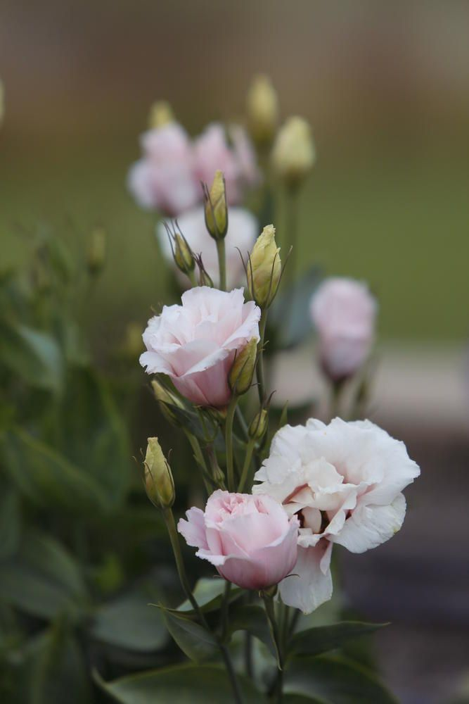 The unique flowers of lisianthus are shaped like beautiful roses.
