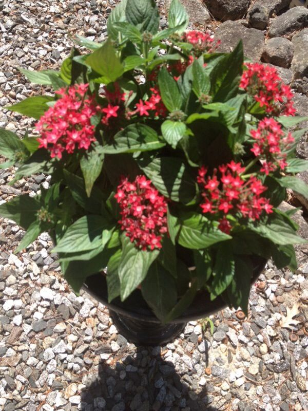 Star clusters or pentas pentas lanceolata appears to be pentas a star clusters or pentas pentas lanceolata appears to be pentas a colorful flowering perennial plant that is said to attract butterflies it gr mightylinksfo