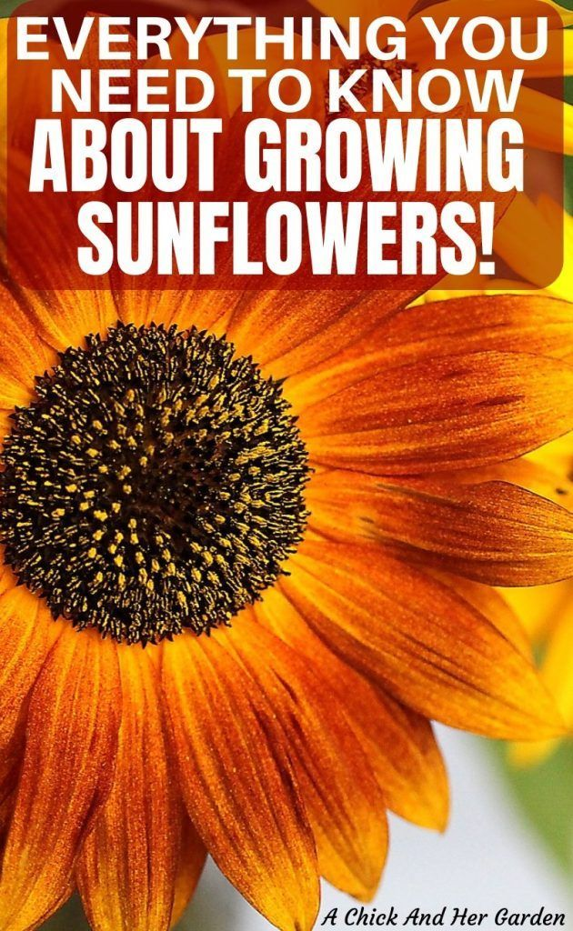 How to Grow Sunflowers is part of Growing sunflowers, Sunflower garden, Flower landscape, Garden, Gardening for beginners, Growing flowers - How to Grow Sunflowers    and Why You Should! It's March and I am feeling an extreme need for dirt under my fingernails! I'm day dreaming about the garden and more importantly, growing sunflowers! Who doesn't love their sunny faces  Or automatically think about the warmest days of summer when they see sunflowers  I'm not going to lie, my texts have been filled with sunflower emoji's lately    Wishful thinking! Share the love! Pin me for others! So, to fill my need for seeing sunflowers in my back yard, I'm going to substitute and tell you all about how to grow sunflowers