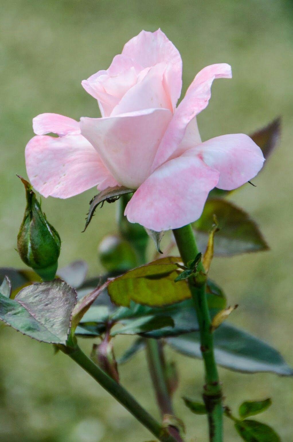 Beautiful Pink Rose Rzsk Pinterest Beautiful Pink
