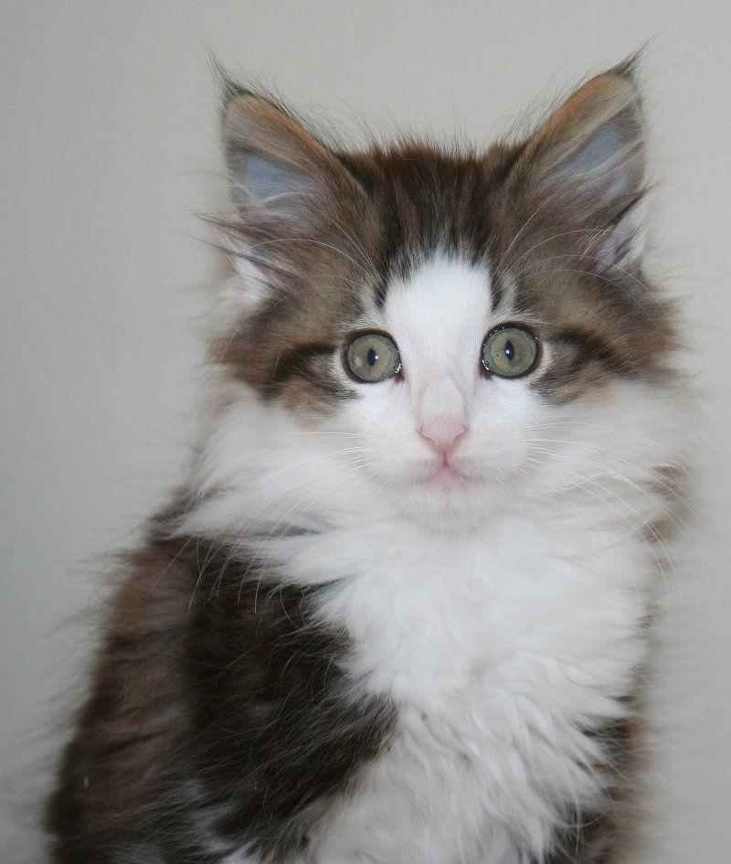 Norwegian Forest Cat Kittens A breeder of kittens based