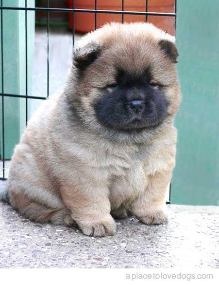 Most Inspiring Chow Chow Chubby Adorable Dog - 3f99deb193a74656ae1387ce1d90b109  Gallery_146558  .jpg