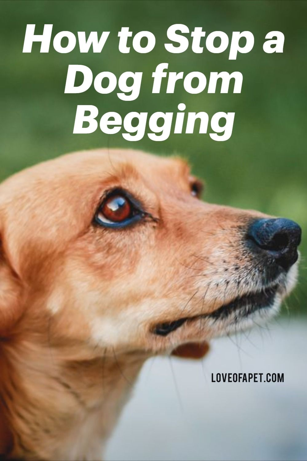 How to stop a dog from begging 7 easy steps love of a