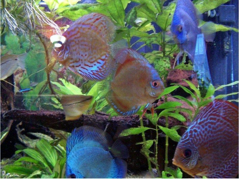 Ikan Hias Cantik Dan Murah Ikan Hias Cantik Dan Murah Pinterest