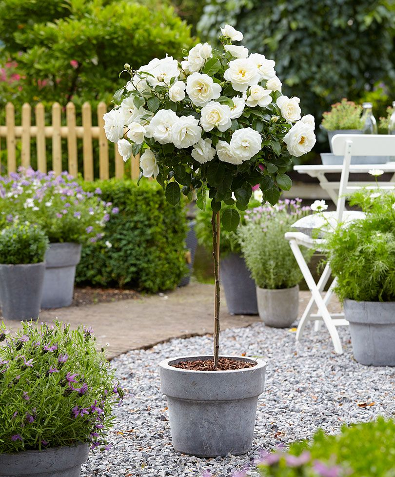 Standard Rose Kristall Roses From Bakker Spalding Garden