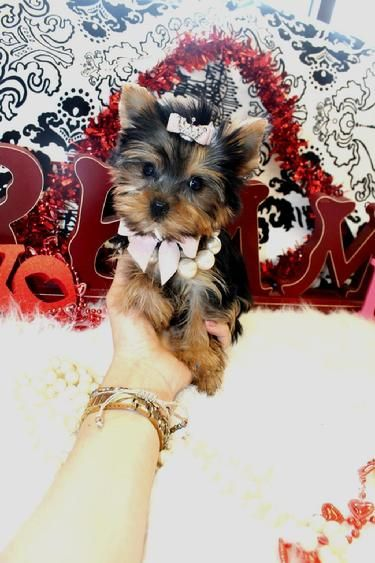 Yorkiebabies Com Teacup Yorkie For Sale Yorkie Toy Dog Breeds