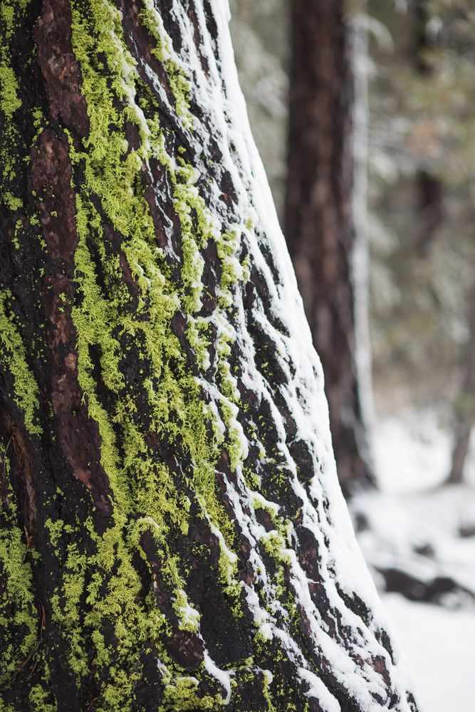 moss and snow on a tree, donner lake, truckee - near lake tahoe