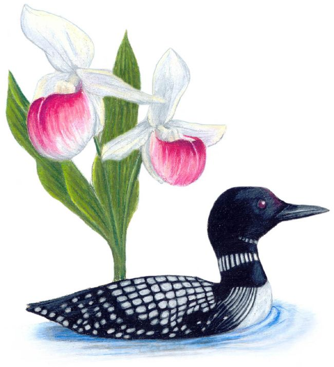 The common loon and the pink and white lady slipper the state bird the common loon and the pink and white lady slipper the state bird mightylinksfo