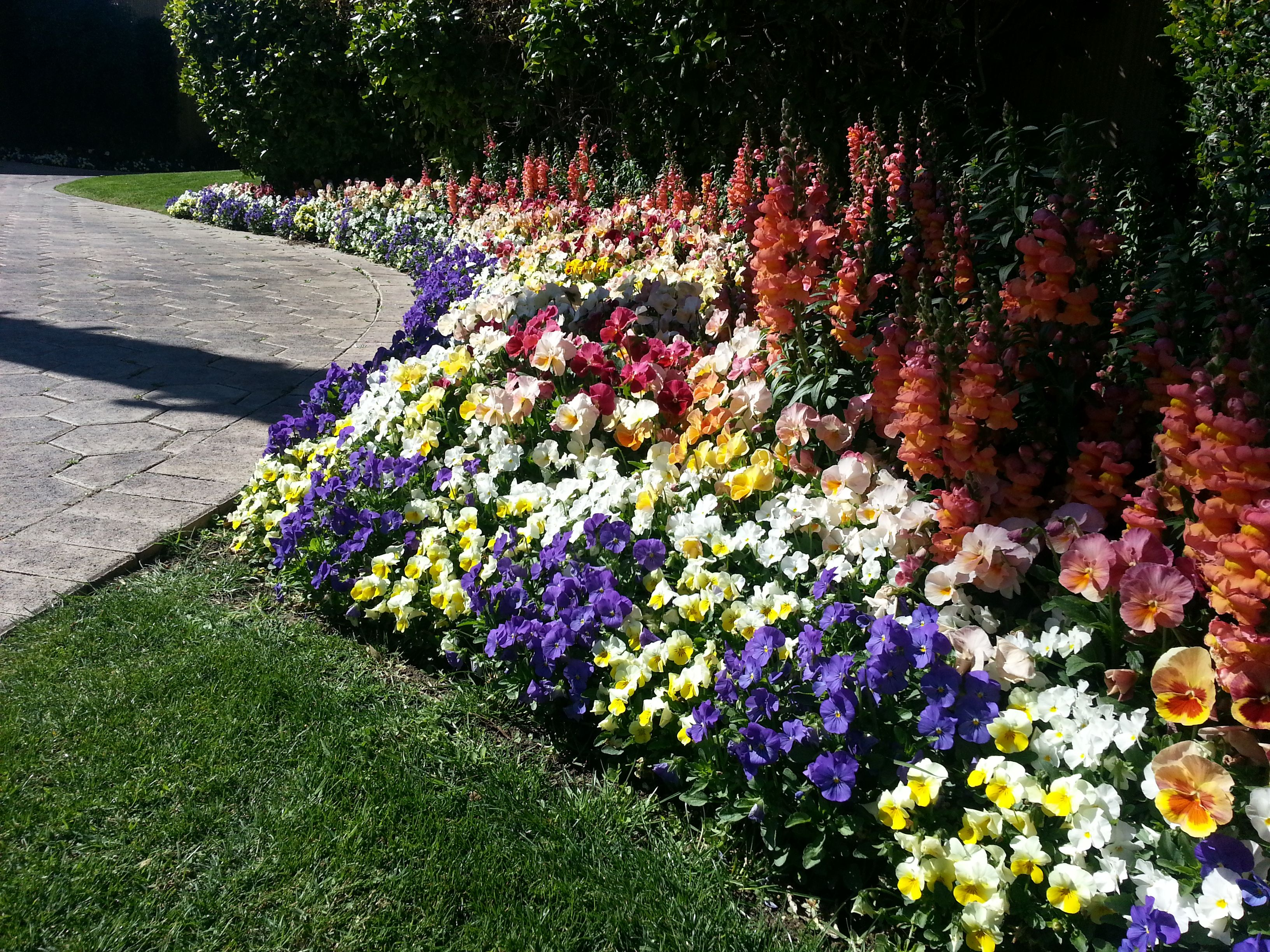 Pansy Blue Yellow Burgundy And White Along With Snapdragon Sorbet Orange Winter Flowers Season Colors Pansies