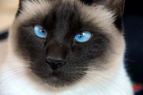 Buy Siamese Kitten Florida Half Siamese And Himalayan Cats