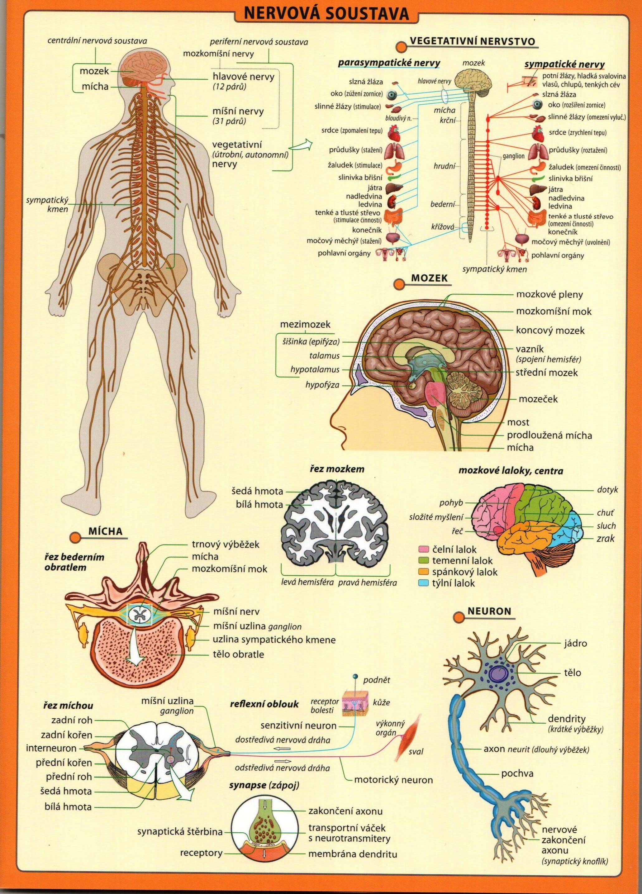 lidské tělo tabulka.7.jpeg | prvouka | Pinterest | Studium