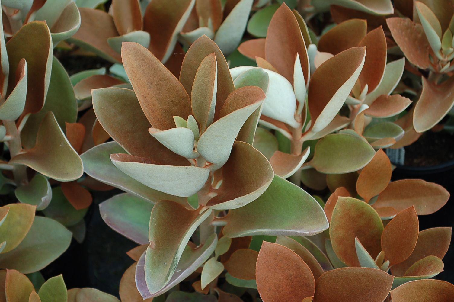 Kalanchoe orgyalis 'Copper Spoons' (Copper Kalanchoe) | Gardens