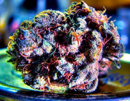 """Rainbow is a 50/50 indica/sativa hybrid from Spanish breeders Lifetime Seeds, created by crossing Dancehall with Blueberry.  A compact, fast flowering strain with little side-branching, it does very well when grown in the """"sea-of-green"""" style. Rainbow presents a wide array of colors towards the end of flowering, hence the moniker. With a spicy-sweet fruity flavor, this tasty hybrid can give consumers a pleasant, creative high and pain relief without a heavy body sensation."""