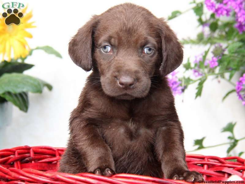 Buster, Chocolate Lab puppy for sale from New Holland, PA