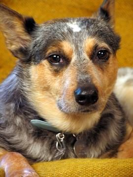 How To Keep A Cattle Dog In The City Dog Training Puppy Biting