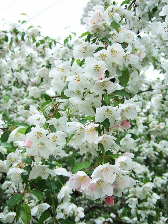Red Jade Weeping Crabapple Begins The Season By Bearing White Blossoms With Pink Overtones Long Chains Of Red Eg Crabapple Tree Crab Apple Flowering Crabapple