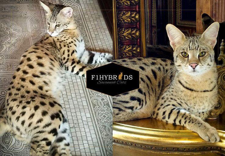Maxwell F1 Savannah Cat Male.jpg Savannah cat, F2