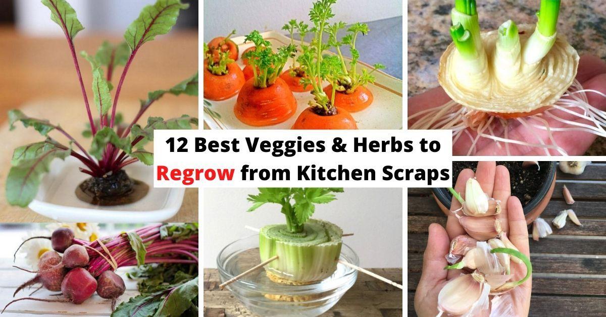 12 Best Veggies Herbs To Regrow From Kitchen Scraps Lemongrass Plant Lemon Grass Herbs