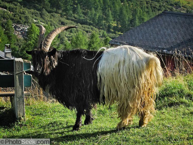 Resultado de imagem para Schwarzhalsziege, cabras de raça
