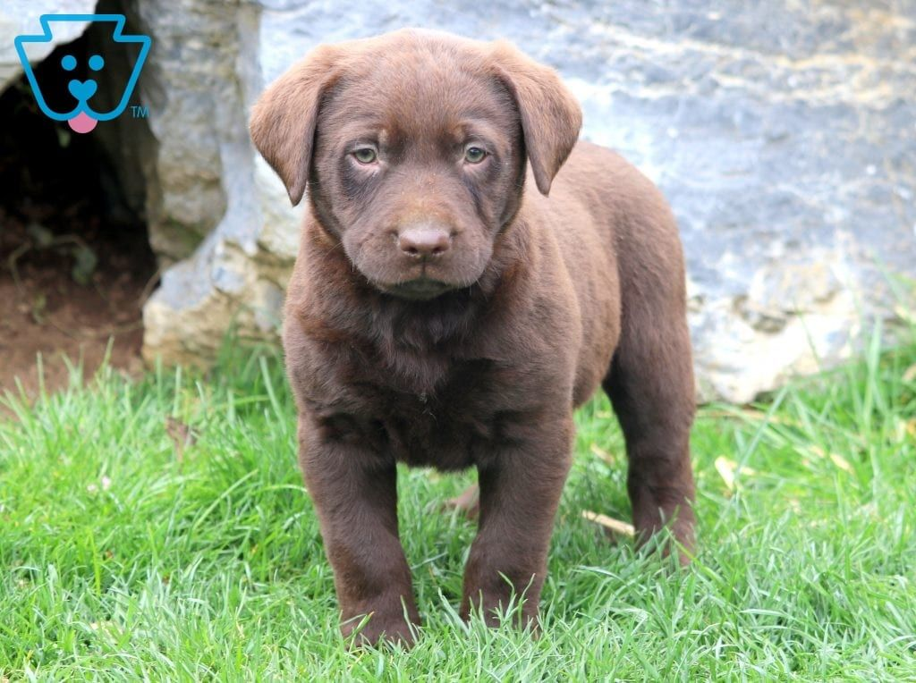 Preston Labrador Retriever Labrador Puppies For Sale