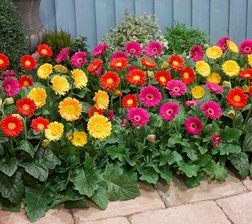 Roberta S 4 Pc Sweet Series Garvinea Hardy Gerber Daisies M46341 Qvc Com Plants Gerbera Flower Beds
