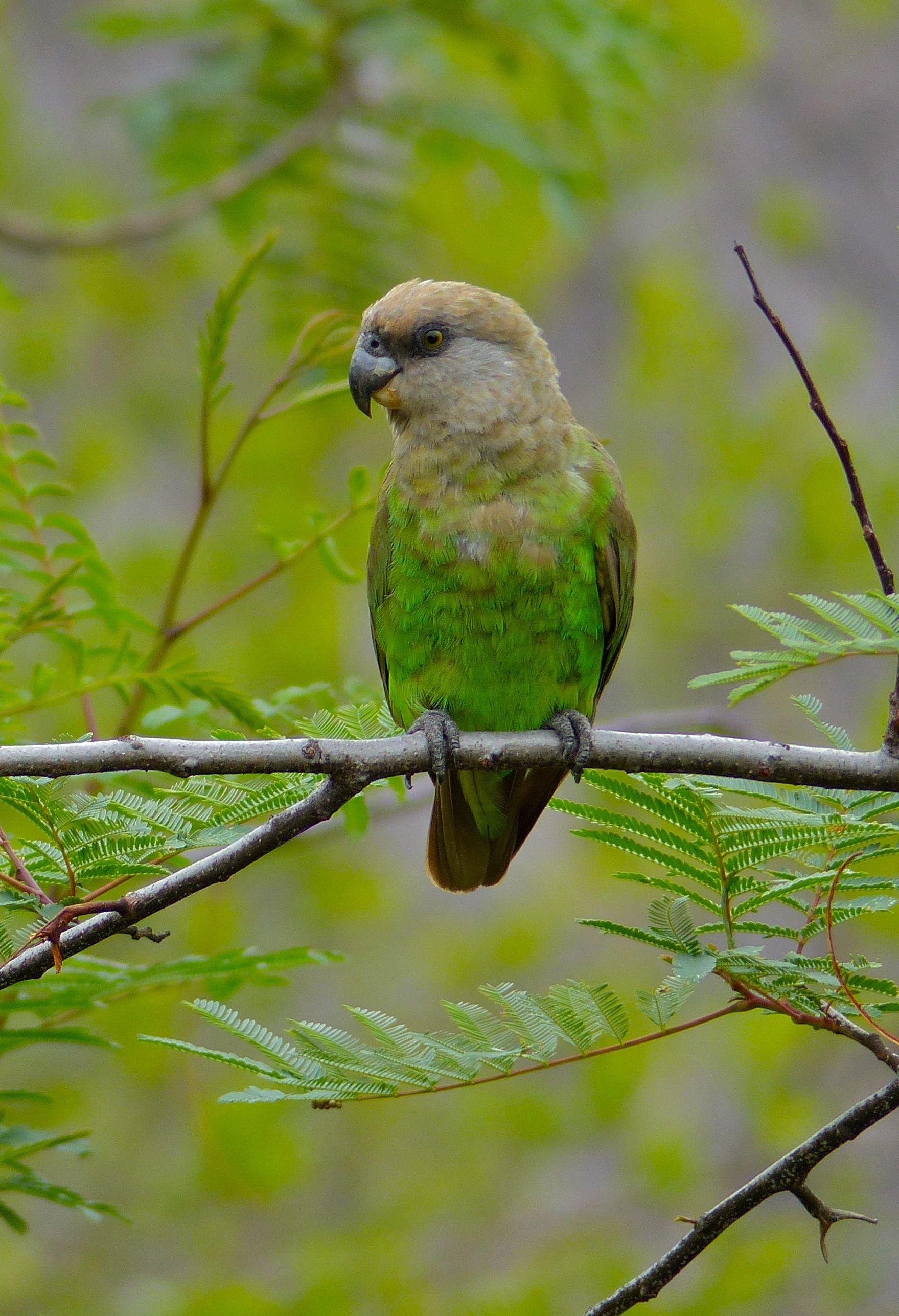 El loro de cabeza marrón o lorito cabecipardo (Poicephalus ...
