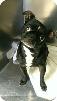 Circleville Oh Pug Boston Terrier Mix Meet Midnight A Dog For