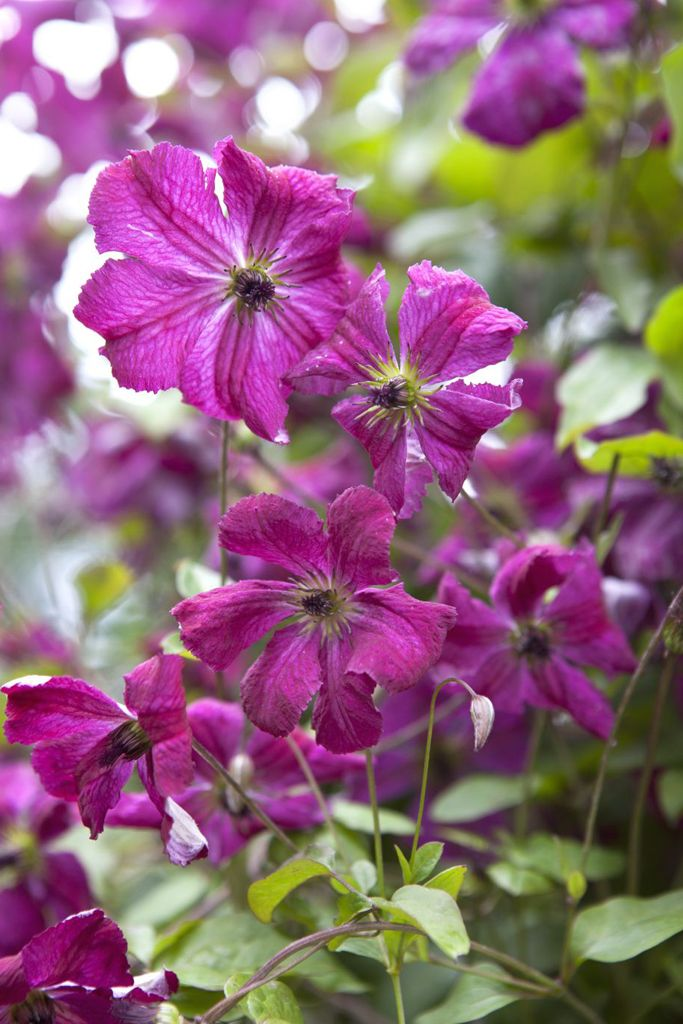 10 pretty summer clematis to grow clematis flowers and plants 10 pretty summer clematis to grow mightylinksfo