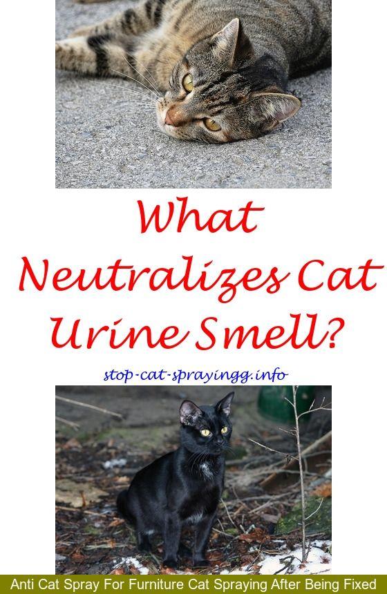 How Do I Get Old Cat Urine Out Of Carpet Lets See Carpet