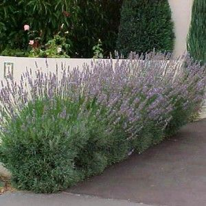 Dwarf Lavender Purple Garden Plans Hedge