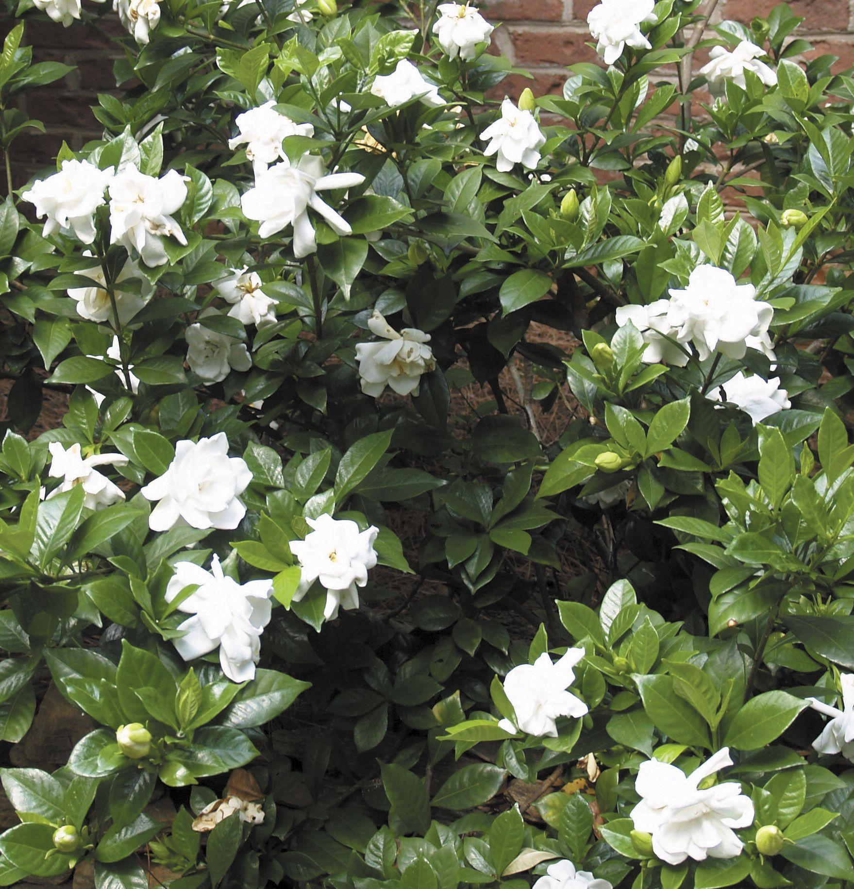 Gardenia Jasminoides Chuck Hayes Common Jasmine There Is
