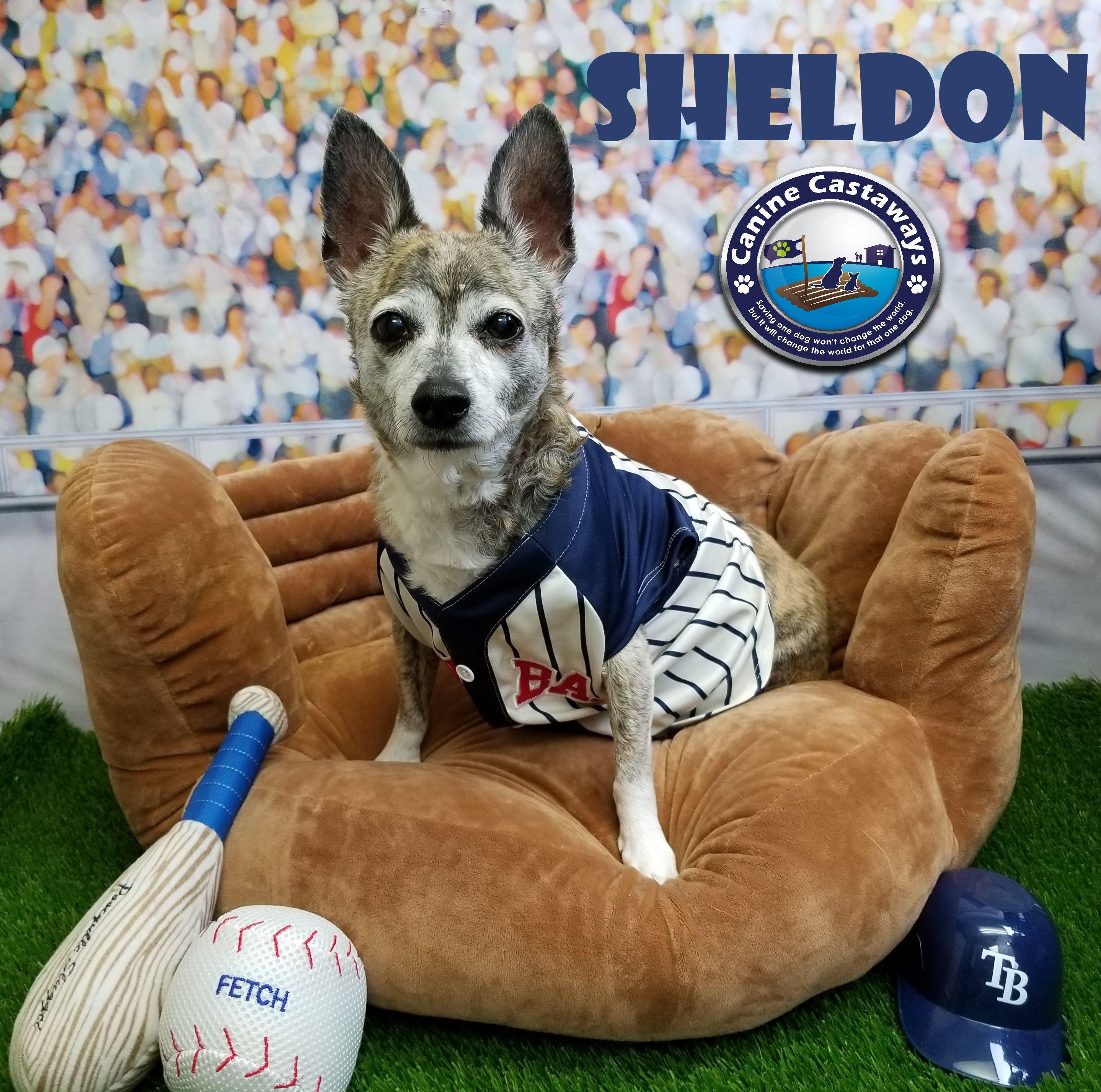 Boston huahua dog for adoption in arcadia fl adn805771